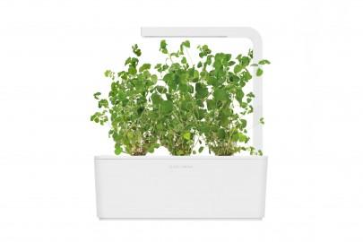 Smart Garden - Sadzonka (Majeranek)